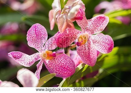Orchid Flower In Orchid Garden At Winter Or Spring Day. Mokara Orchidaceae.