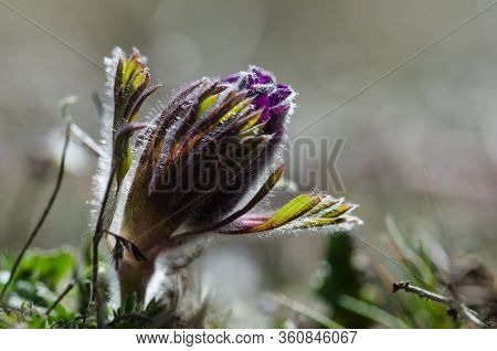 Pasque Flower Bud Just Starting To Bloom In Early Spring Season