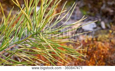 Pine Needles Diverge From The Center. Pine Needles Close Up. Pine, Green Sprig Of Pine. Forest. Back