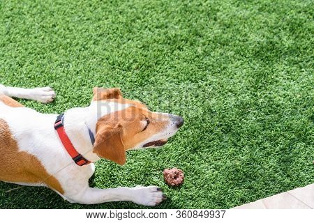 Dog Lying Down On Green Spring Time Grass. Close Up Dog Jack Russel Terrier, Lying On Green Grass, P