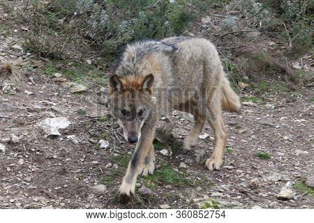 Iberian, Animal, Wild, Europe, Spain, Gray, Carnivore, Nature, Mammal, Fauna, Forest, Wolf, Lupus, G