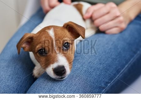 Woman Playing With Jack Russel Terrier Puppy Dog. Good Relationships And Friendship Between Owner An