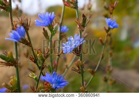 Chicory Flowers On Meadow. Blooming Chicory Flowers On A Green Grass In Sunny Day. Meadow With Chico