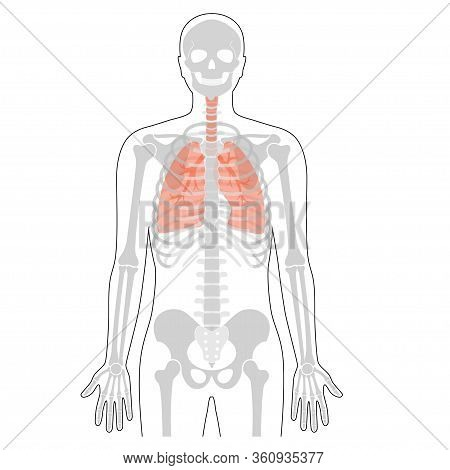 Human Rib Cage With Lungs Anatomy Flat Vector Illustration. Man Torso Skeletal System. Anatomically