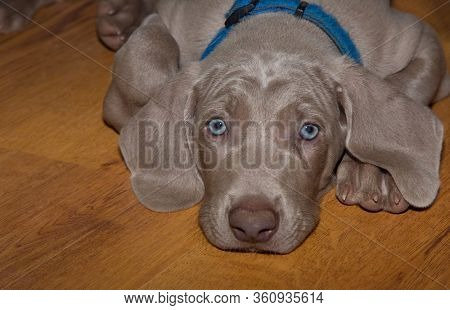 Closeup of the face of an adorable Weimaraner puppy resting on the floor