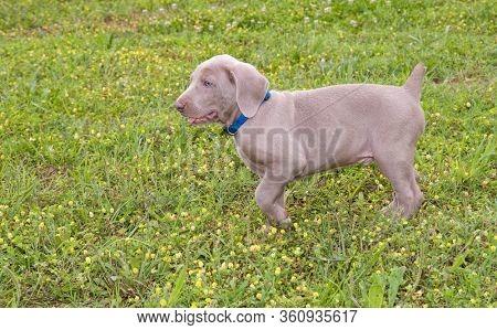 Young Weimaraner puppy walking in grass