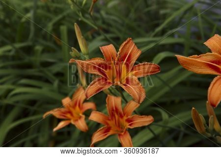 Floral Background. Large Orange Daylily Flowers On A Background Of Green Leaves In The Garden. Side