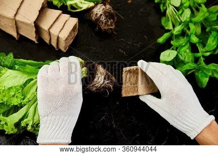 Hands Of Gardener Puts Greeners In Peat Container With Soil