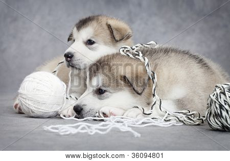 Two Malamute Puppies With A Ball Of String