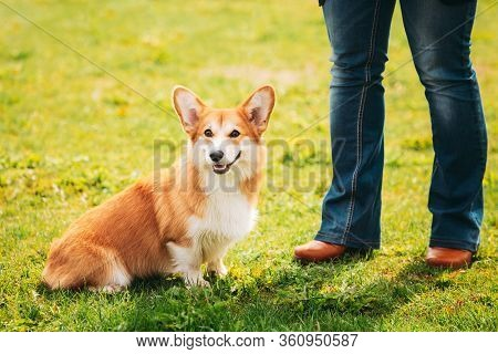 Pembroke Welsh Corgi Dog Puppy Sitting At Feet Of Owner In Green Summer Grass. The Welsh Corgi Is A