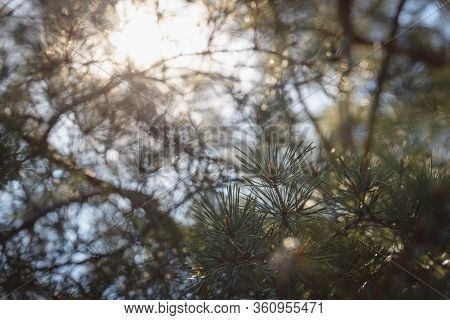Pine Leaves Sunset Background. Natural Sunset Background. Christmas Tree Sunset Background. Pine Lea