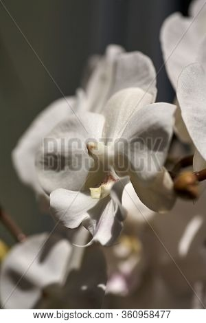 Beautiful Pestle Of Orchid. House Flora, Blooming Orchid Close-up. Beautiful Plant At Home. Home Flo