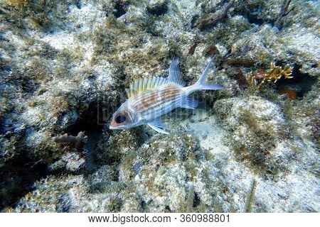 An Underwater Photo Of A Longspine Squirrelfish (holocentrus Rufus) Which  Is A Silvery Red, Sea Fis
