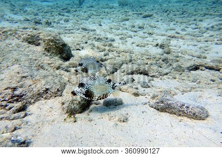 An Underwater Photo Of A Lactophrys Triqueter Also Known As The Smooth Trunkfish, Is A Species Of Bo