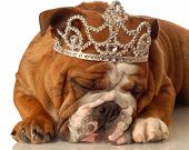 english bulldog wearing princess crown and silly expression poster