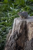 A ground squirrel sounds warning as another climbs its stump. poster