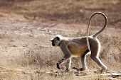 The strolling langur in the wild in India. poster