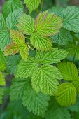 Close up of Fresh Green Raspberry Leaves poster