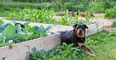 A female Rottweiler with a watchful expression lays between raised garden beds full of young healthy plants. poster
