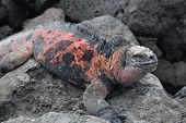 The marine iguana (Amblyrhynchus cristatus) is an iguana found only on the Galapagos Islands that has the ability unique among modern lizards to live and forage in the sea. It mainly lives on the rocky Galapagos shore. This specie is listed under CITES Ap poster