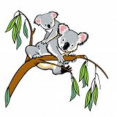 koala bear with joey climbing eucalyptus tree isolated picture on white background poster