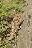 a prehistoric looking arizona horned toad lizard poster