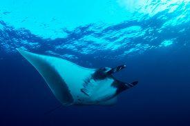 Oceanic Manta Ray (Manta birostris)