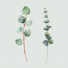 Beautiful Vector Watercolor Floral Set With Two Eucalyptus Branches. Stock Illustration.