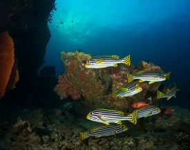 Oriental Sweetlips fish on coral reef in the Similan Islands, Thailand
