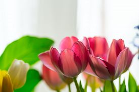 Beautiful Composition Of Pink And Yellow Tulips And Greenery. Glowing Flower Petals On A Light Backg