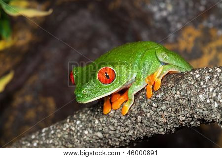 Red Eyed Tree Frog in a rain-forest.