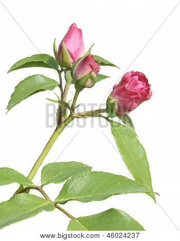 Buds Of Pink Rose Isolated