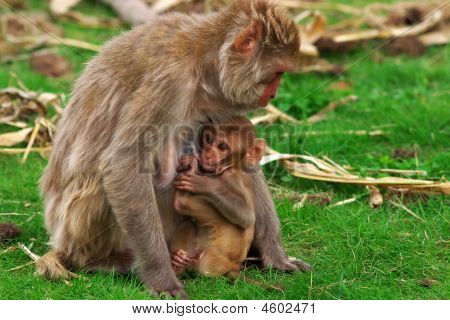 Portrait of a monkey feeding her baby poster