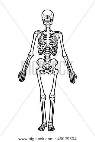 outline human skeleton on white background