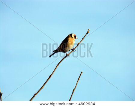 European Goldfinch,carduelis Carduelis