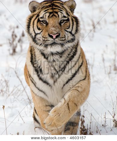 Siberian Tiger About To Pounce