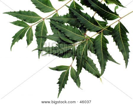 Neem Leaves (medicinal-properties)