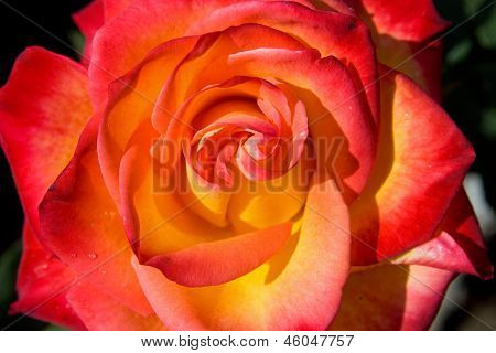 rose macro 3