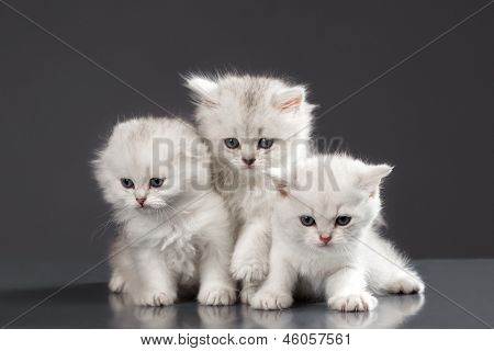 White Persian pussy cats over black background