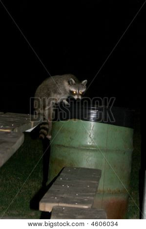 Racoon At Night