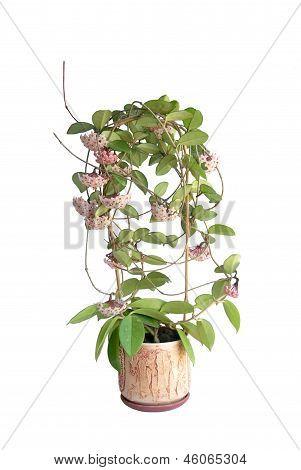 Blooming Hoya Camosa