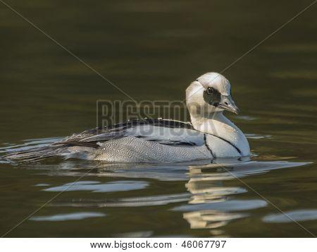Smew / Mergus albellus Duck