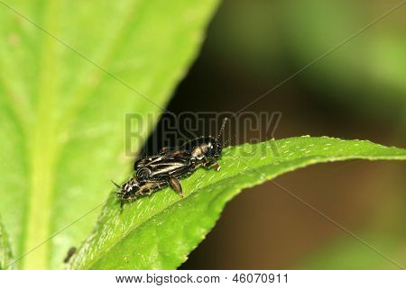 Orthoptera Insects