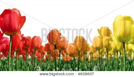 Flame Tulips Border