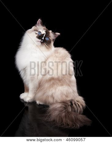 Fluffy Ragdoll Cat