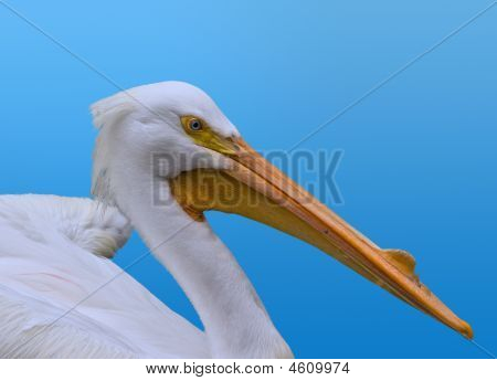 White Pelican On Blue