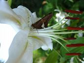 Small brown butterfly on a huge white lily blossom poster
