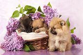 spitz puppy and flowers  lilac poster