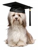 Beautiful proud graduation chocolate havanese dog with black cap isolated on white background poster