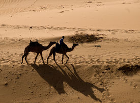 Camels Near Aswan